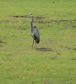 Blue heron — Foto de Stock