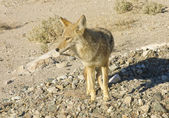 Death Valley wildlife — Stock Photo