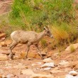 Rocky Mountain sheep - Stock Photo