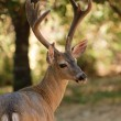 Stock Photo: Black-tailed buck