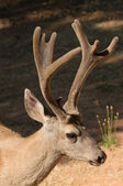 Californian Black-tailed buck — Stock Photo