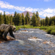 Grizzly bear crossing stream — Stock Photo