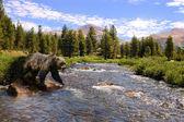 Niedźwiedź grizzly przejścia strumienia — Zdjęcie stockowe