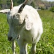 Stock Photo: Goat over green grass