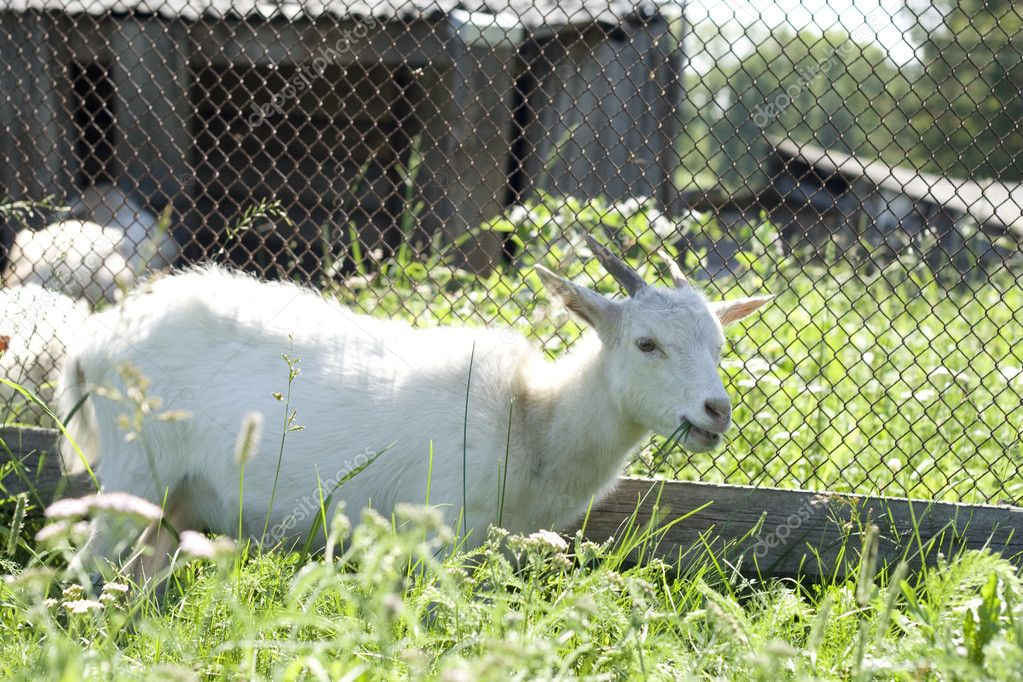 White goat over green grass — Stock Photo #8954127