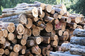 Timber newly felled and ready for collection — Stock Photo