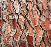 Bark redwood — Stock Photo