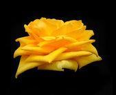 Flower of rose on black background — Stock Photo