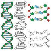 DNA - helix molecule model — Stock Vector