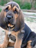 Photo of Bloodhound puppy dog — Stock Photo
