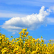 Rapeseed field and blue sky with clouds — Stock Photo