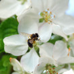 Постер, плакат: Bee at work