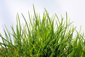 Green Grass and Sky — Stock fotografie