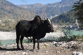 Vache sacrée — Photo