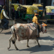 Stock Photo: Dressed-up cow in Agra