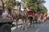 Línea de camellos — Foto de Stock