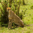 A sit-up straight cheetah at Masai Mara, Kenya - Foto de Stock