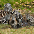 A group of zebras drinking water near the river in Masai Mara, Kenya - Stock Photo