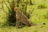 A sit-up straight cheetah at Masai Mara, Kenya — Stock Photo