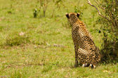 A mother cheetah looking for the prey at Masai Mara, Kenya — Stock Photo