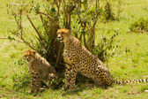 A mother cheetah with her baby at Masai Mara, Kenya — Stock Photo