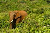 A forest elephant at Aberdares, Kenya — Stock Photo