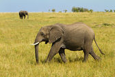 A lonely elephant walking on Masai Mara Reserve Park, Kenya — Stock Photo