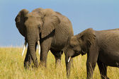 A group of elephants at Masai Mara Reserve Park, Kenya — Stock Photo