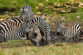 A group of zebras drinking water near the river in Masai Mara, Kenya — Stock Photo