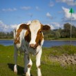 Dutch cow — Stock Photo #9095629