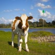Dutch cow with blue sky — Stock Photo #9095637