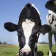 Photo: Dutch cow in detail with blue sky