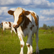 Cow with blue sky — Stock Photo