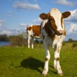 Dutch cow with blue sky — Stock Photo #9095653