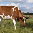 Dutch cow — Stock Photo #9095659