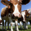 Stock Photo: Dutch cow with blue sky