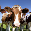 Dutch cow with blue sky — Stock Photo #9095686