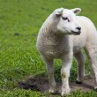 Lamb — Stock Photo #9096105