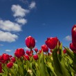 Tulips — Stock Photo #9096148