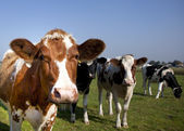 Vaca em detalhe — Foto Stock