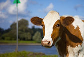 Dutch cow — Stock Photo