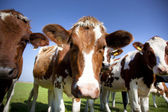 Dutch cow with blue sky — Stock Photo
