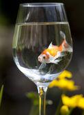 золотая рыбка — Стоковое фото