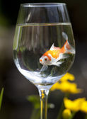 Goldfish — Foto de Stock