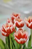 Orange and red tulips — Stock Photo