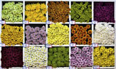 Mulit colour daisy — Stock Photo
