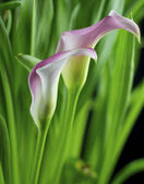 Isolated calla lily — Stock Photo