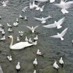 Swan — Stock Photo #9212638