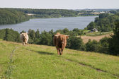 Cattle at the Lake — Stock Photo