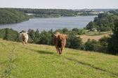 湖での牛 — ストック写真